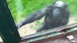 Смотреть Сообразительная шимпанзе