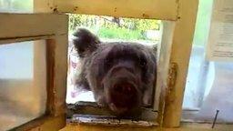 Медведь пришёл в гости смотреть видео прикол - 0:54