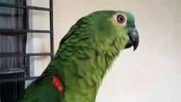 Оперный попугай смотреть видео прикол - 1:21