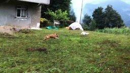 Смотреть Кот обхитрил собаку