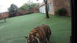 Смотреть Тигра накормили