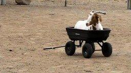 Смотреть Коза в тележке