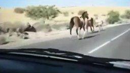 Конь против автомобиля смотреть видео прикол - 0:17