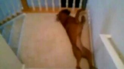 Собачий слайд по лестнице смотреть видео прикол - 0:39