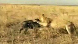 Смотреть Кабан против львицы