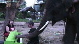 Смотреть Слон играет на пианино