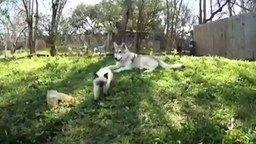 Смотреть Волк усыновил котенка