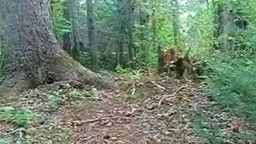 Смотреть Дышащее дерево
