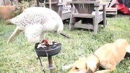 Смотреть Сокол кормит собаку