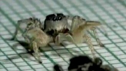 Смотреть Танец тарантула