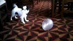 Собачонка против воздушного шара смотреть видео прикол - 0:45