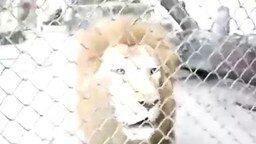 Смотреть Лающий лев
