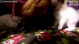 Котят приютила овчарка смотреть видео прикол - 2:27