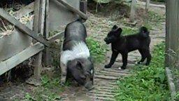 Смотреть Резвый щенок против свиньи