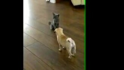 Смотреть Нахальный котёнок и мопсик