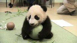 Смотреть Милый медвежонок панды