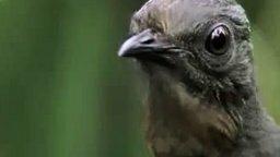 Эта птица - живой магнитофон смотреть видео прикол - 1:12