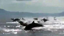 Смотреть Большая стая дельфинов