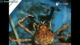 Смотреть Краб-паук снимает панцирь