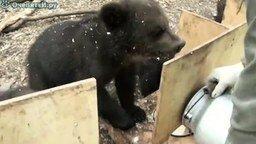 Смотреть Как кормят медвежат