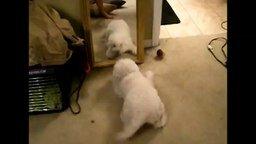 Безумный пёсик против зеркала смотреть видео прикол - 0:46