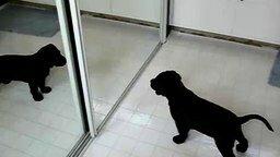 Щенок и его отражение в зеркале смотреть видео прикол - 0:50