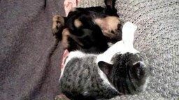 Смотреть Котёнок с собакой балдеют