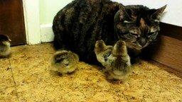 Смотреть Кошка и цыплята