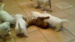 Смотреть Щенки напали на кота
