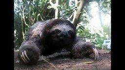 Ленивец атакует смотреть видео прикол - 0:19