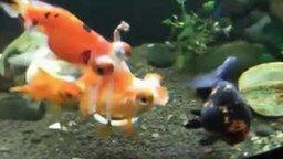 Инвалидное кресло для золотой рыбки смотреть видео прикол - 0:31