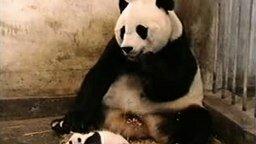 Смотреть Панда шок