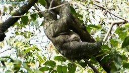Смотреть Как ленивцы плавают