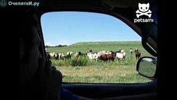 Смотреть Завлекатель коров