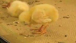 Цыплёнок засыпает... смотреть видео прикол - 0:13
