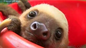 Смотреть Тазик с ленивцами