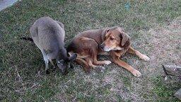 Любовь кенгуру и собаки смотреть видео прикол - 0:45
