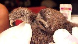 Смотреть Дружелюбный ленивец
