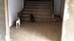 Смотреть Кот ведёт за поводок собаку