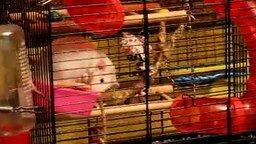 Смотреть Загадочная игра крысы