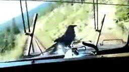 Смотреть Ручной ворон