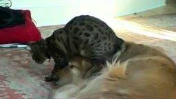 Смотреть Кот топчется по голове псины