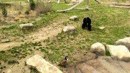 Смотреть Смелый гусь и горилла