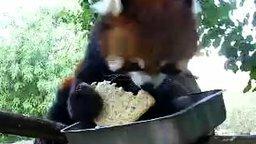 Смотреть Красная панда проголодалась