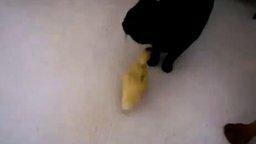 Смотреть Чёрный кот и жёлтый утёнок