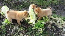 Смотреть Щенки атакуют капусту