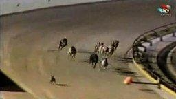 Собачьи бега и заяц смотреть видео прикол - 0:32