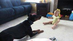 Смотреть Малыш играет с доберманом