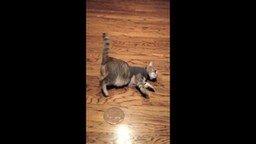 Кошка в рубашке смотреть видео прикол - 1:28