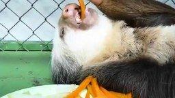 Смотреть Ленивец за обедом